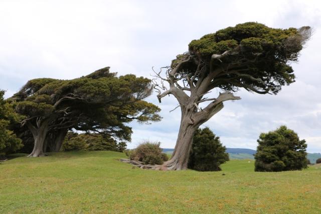 Windy-Tree-near-Cannibal-Bay